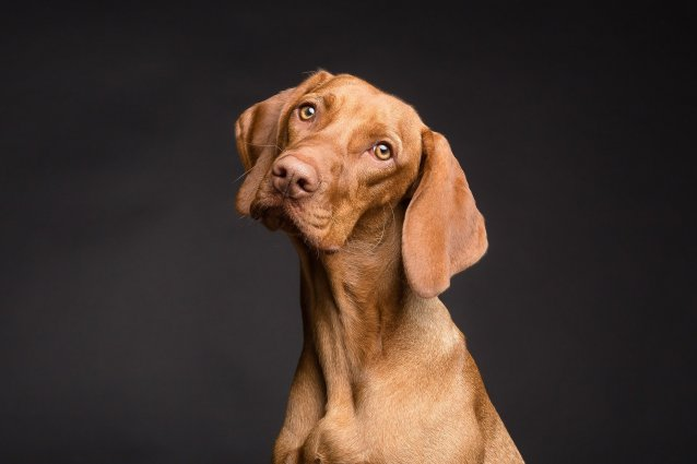 Image depicts a brown dog with big floppy ears looking up with a curious expression.